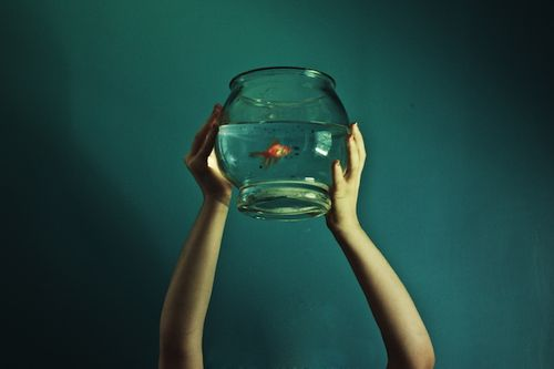Fish_bowl_goldfish