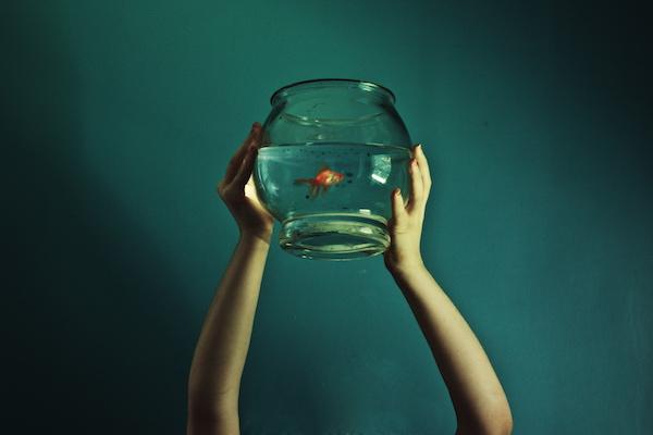 Fish_bowl_goldfish
